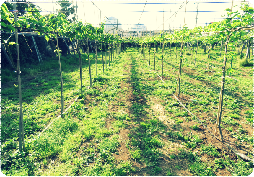 橋本梨園のジョイント栽培