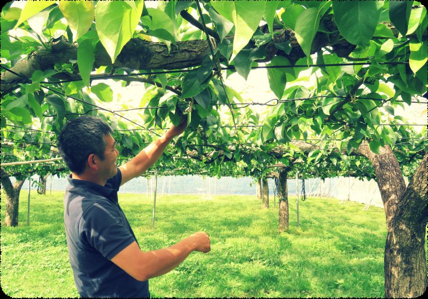 大菅果樹園の梨の木